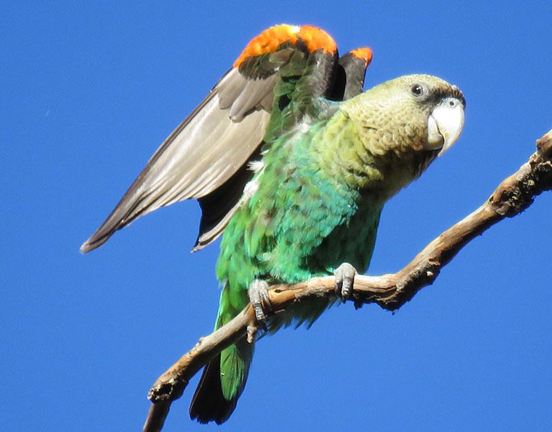 cape_parrot_resize